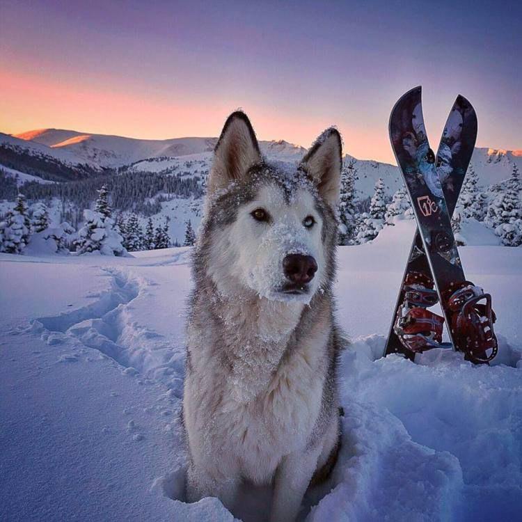 Husky Arctic Wolf Malamute Mix