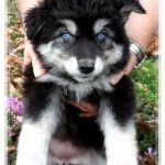 Husky Wolf Hybrid Puppies
