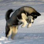 Husky Wolf Mix Behavior