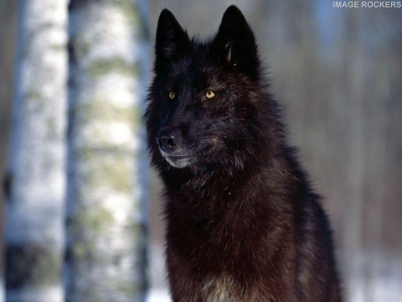 Husky Wolf Mix Black