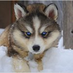 Husky Wolf Mix for Adoption