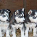 Husky Wolf Mix Howling