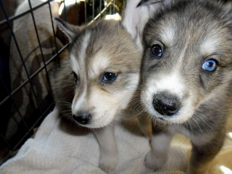 Husky Wolf Mix Puppies