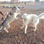Husky Wolf Mix Size