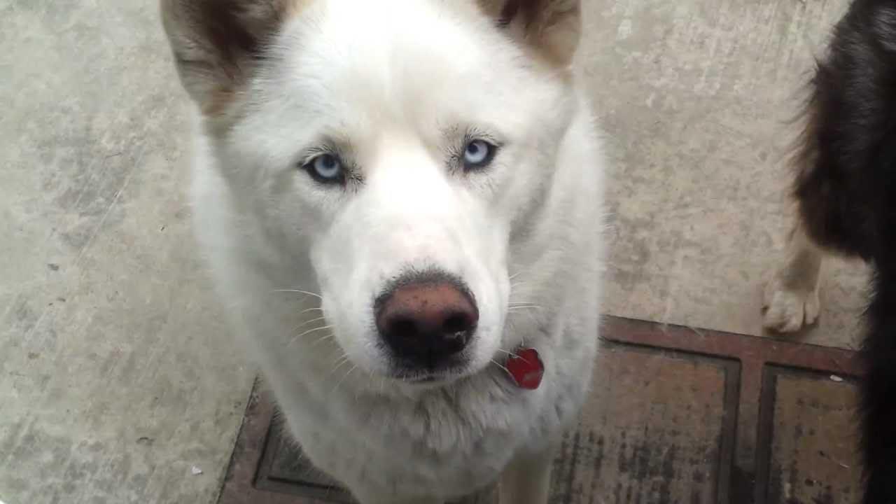 Husky Wolf Mix White