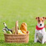 Jack Russell Terrier Eating Chocolate