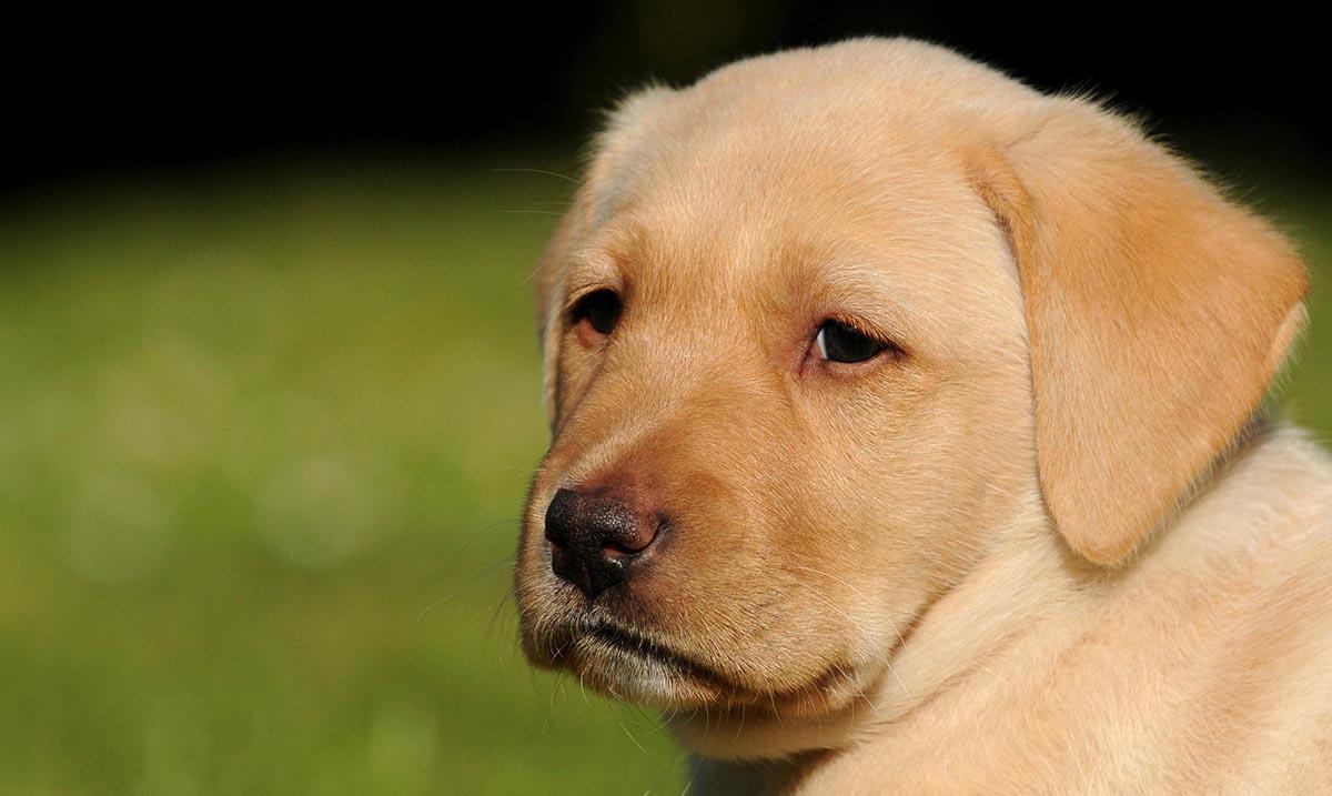 Labrador Dog Pregnancy Age