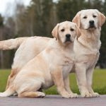 Labrador Dog Pregnancy Duration