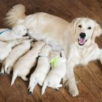 Labrador Dog Pregnancy Period