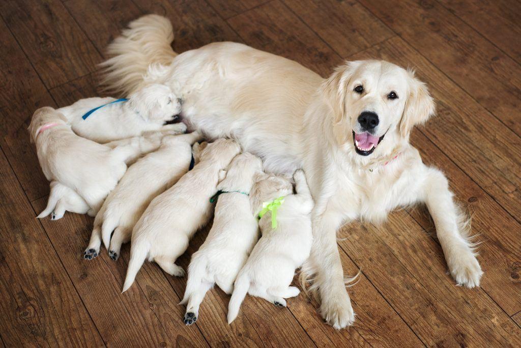 Labrador Dog Pregnancy Period