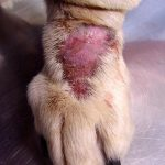 Labrador Dog Skin Disease