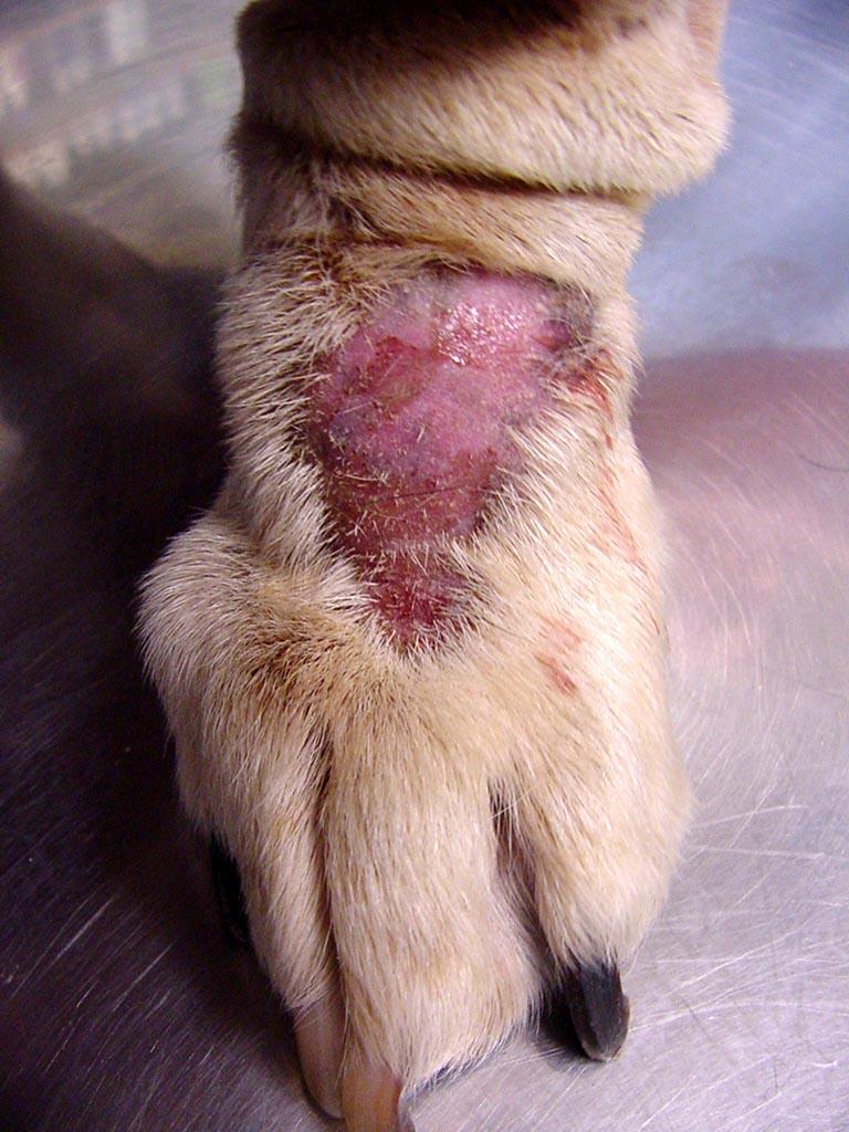Labrador Dog Skin Disease