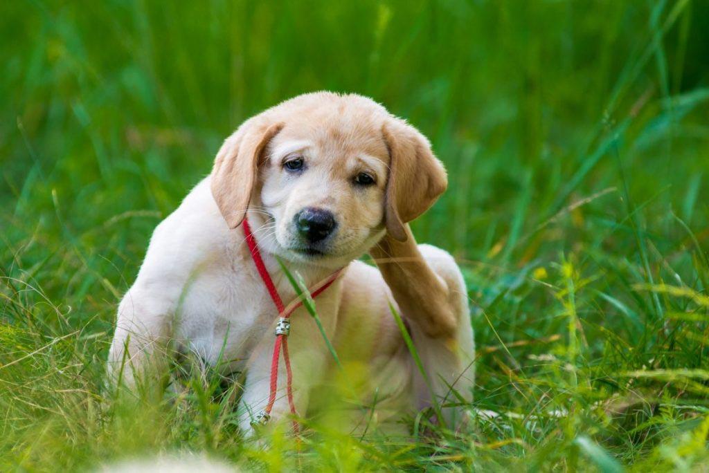 Labrador Puppies Skin Problems