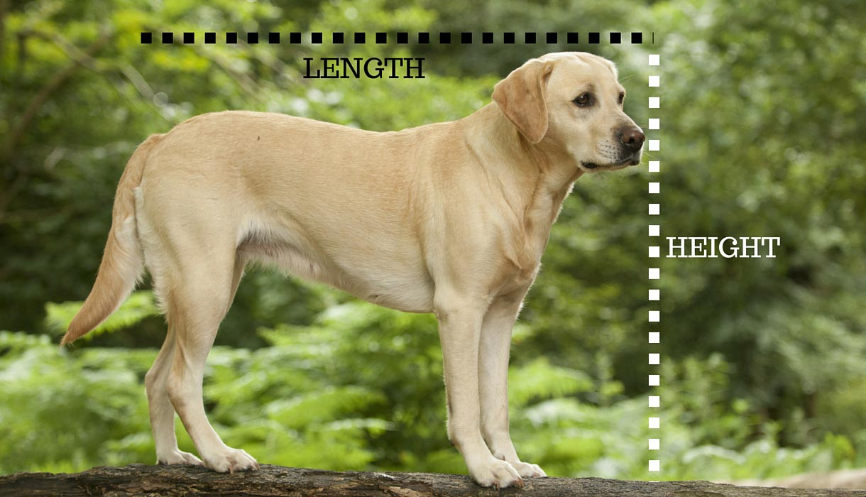Labrador Retriever Average Height