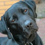 Labrador Retriever Average Life Span