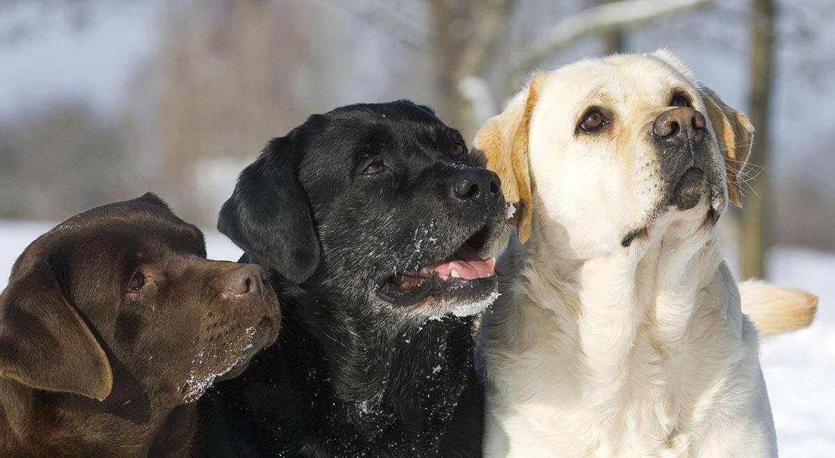 Labrador Retriever Average Neck Size