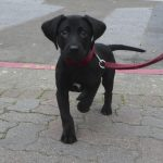 Labrador Retriever Average Size and Weight