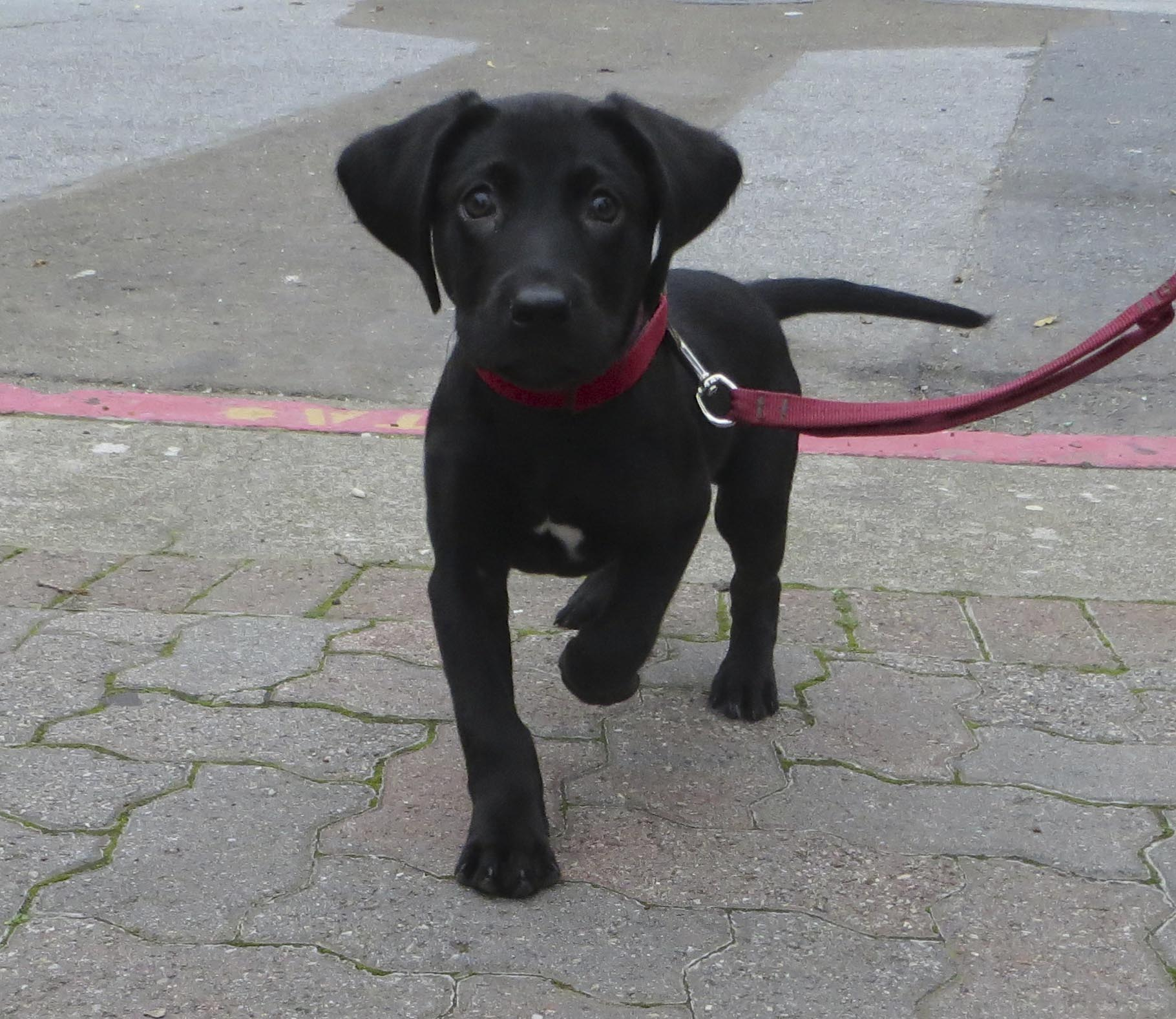 Labrador Retriever Average Size and Weight