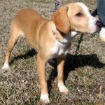 Labrador Retriever Beagle Mix Average Weight