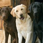 Labrador Retriever Common Skin Problems
