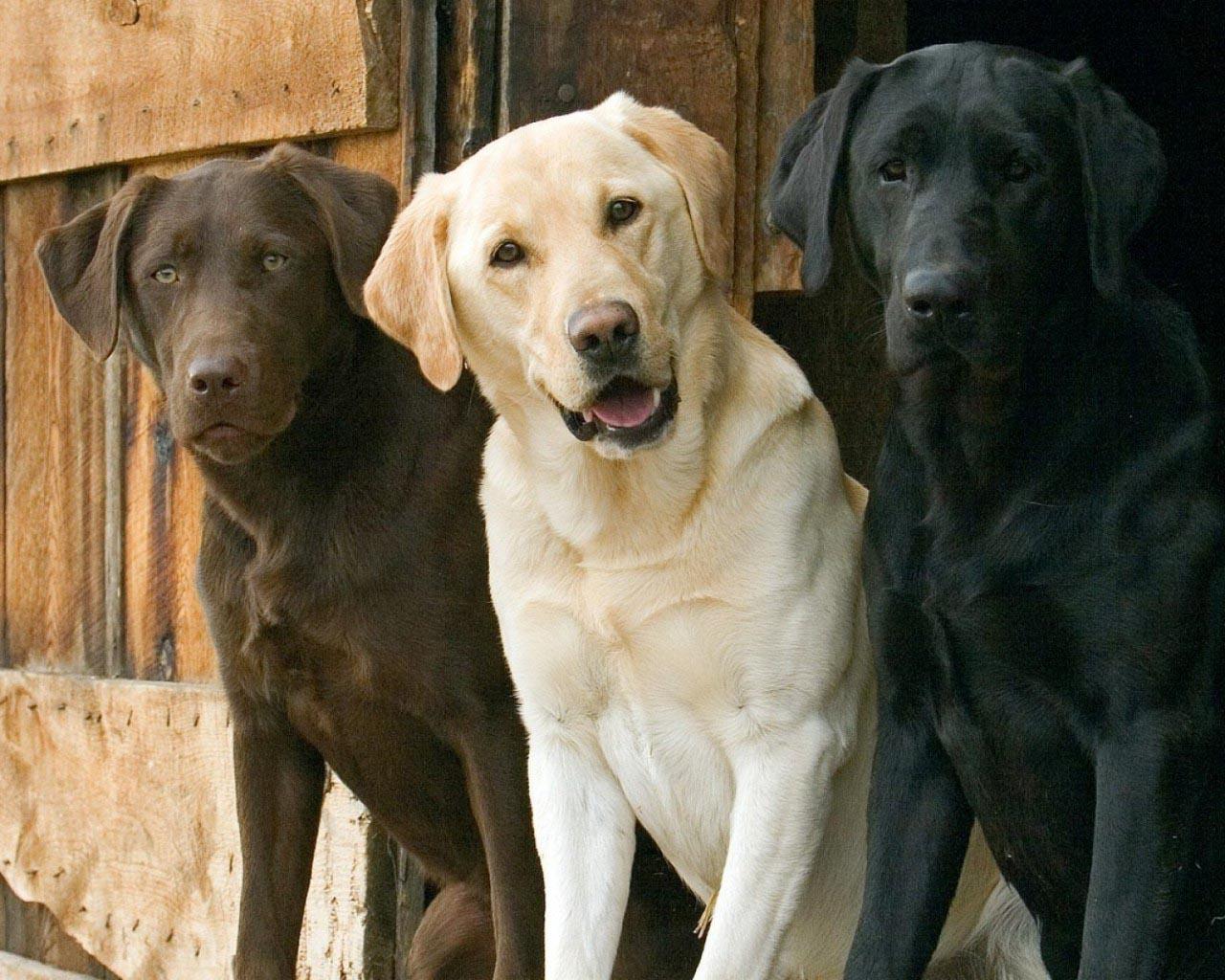 Labrador Retriever Common Skin Problems