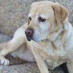 Labrador Retriever Dry Skin Rash
