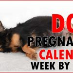 Labrador Retriever Gestation Calendar