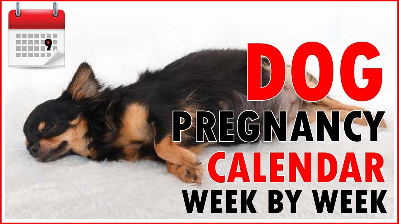 Labrador Retriever Gestation Calendar