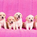 Labrador Retriever Gestation Length