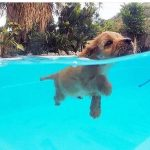 Labrador Retriever Learning to Swim