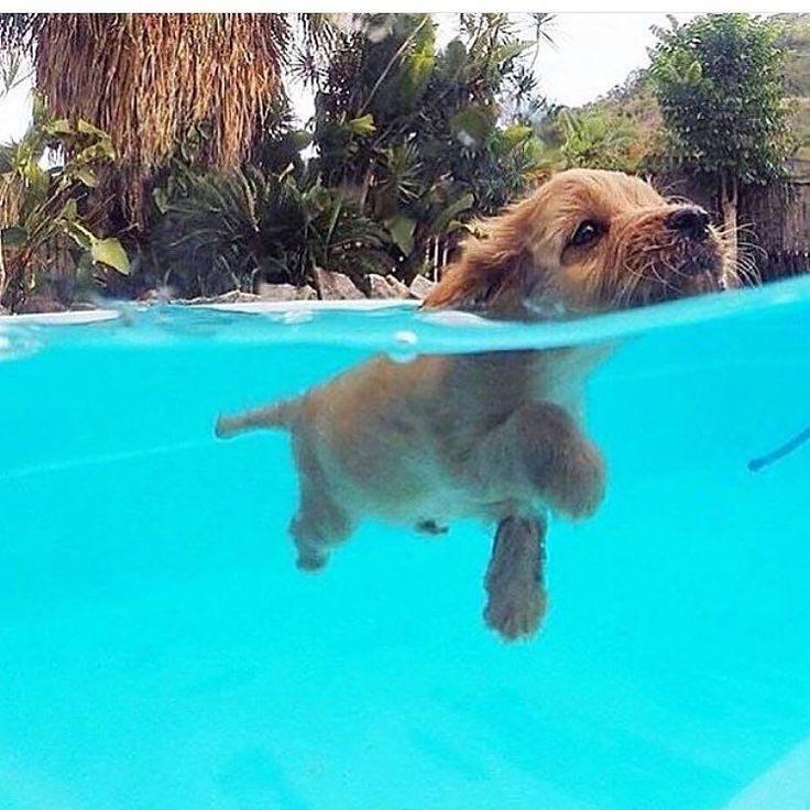 Labrador Retriever Learning to Swim
