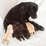 Labrador Retriever Pregnancy Calculator