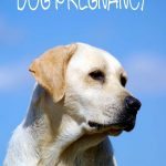 Labrador Retriever Pregnancy Guide