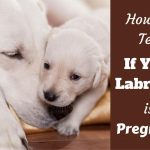 Labrador Retriever Pregnancy Timeline
