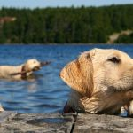 Labrador Retriever Swimming Cold Water