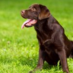 Labrador Retrievers 6 Month Old Lab Behaviour