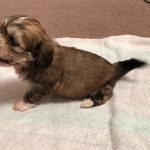 Maltese Cross Shih Tzu 6 Weeks Old