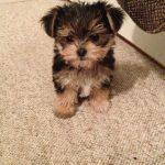 Maltese Poodle Yorkshire Terrier