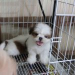 Milk for 2 Months Old Shih Tzu