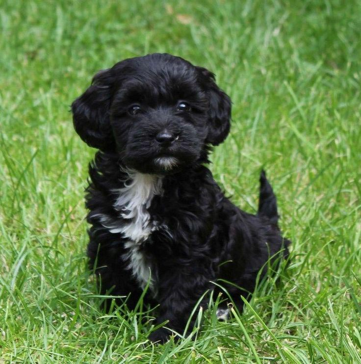Mini Dachshund and Toy Poodle Mix