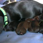 Mini Dachshund Pregnancy Signs