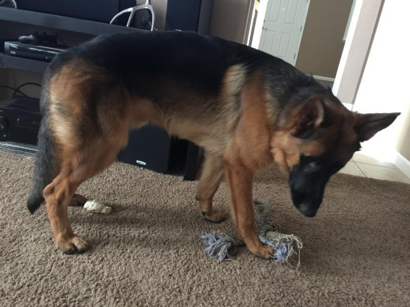 My 10 Month Old German Shepherd is Limping