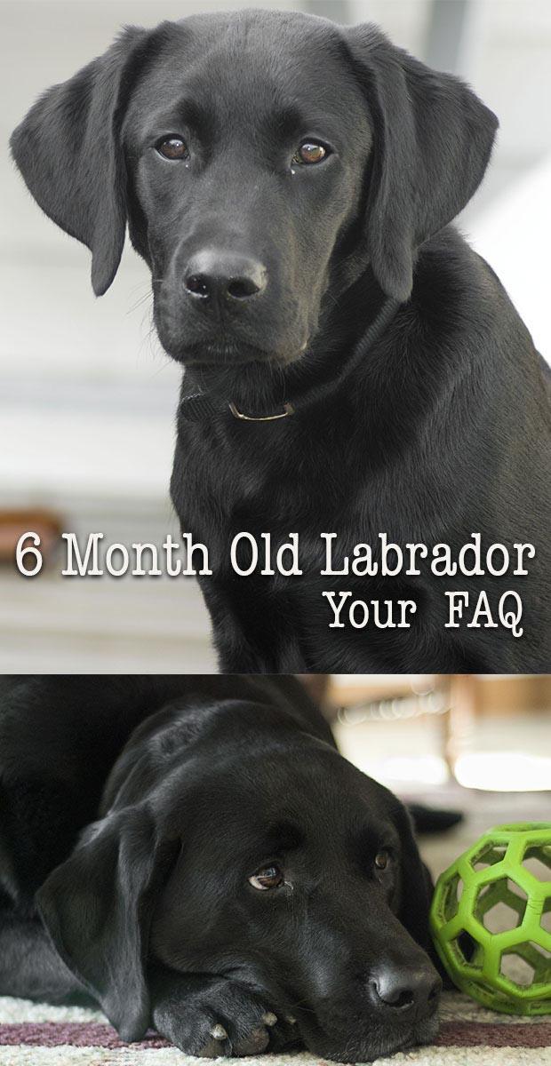 My Six Month Old Labrador Retriever Bites