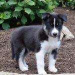 Newfoundland Husky Mix Puppies