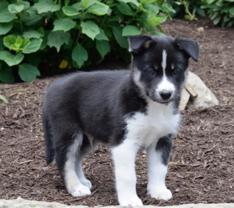 Newfoundland Husky Mix Puppies