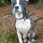 Pitbull Boston Terrier Mix Breed