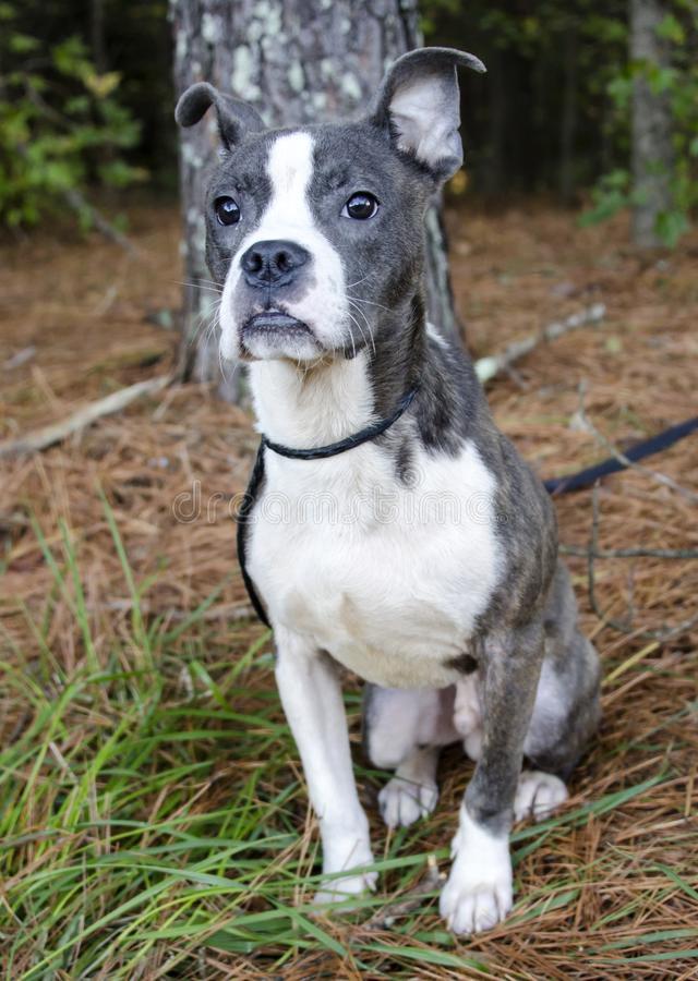 Pitbull Boston Terrier Mix Breed Dog