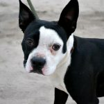 Pitbull Boston Terrier Mix Puppies