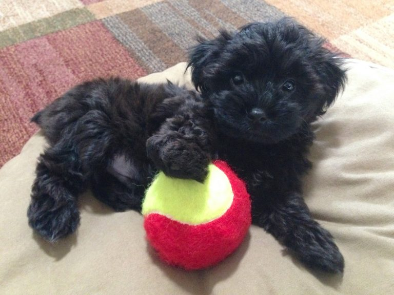Poodle and Yorkshire Terrier Mix