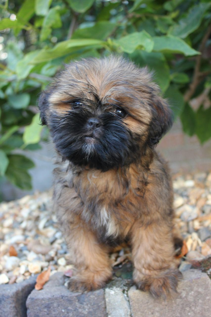Pug and Shih Tzu Mix